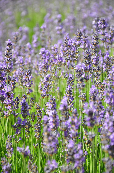 Lavender field Stock photo © rbiedermann