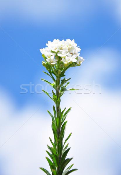 Hoary alyssum (Berteroa incana) Stock photo © rbiedermann