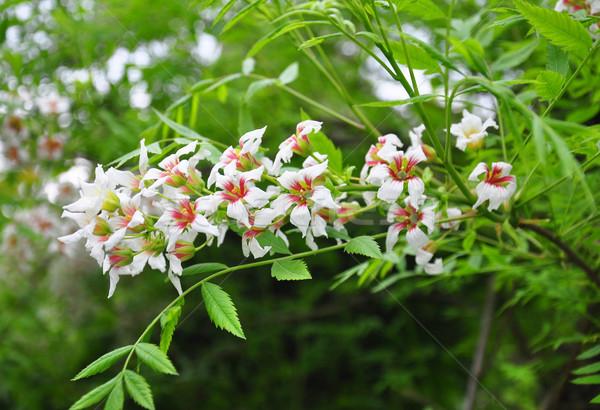 китайский цветения каштан цветок дерево медицинской Сток-фото © rbiedermann