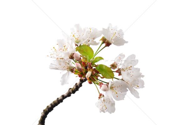 Flowering cherry (Prunus avium) Stock photo © rbiedermann