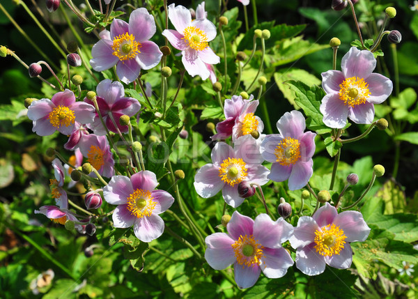 Japanese anemone (Anemone hupehensis) Stock photo © rbiedermann