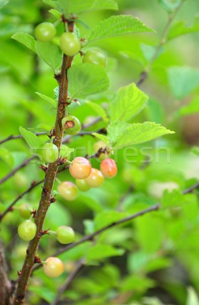 Nanking cherry (Prunus tomentosa) Stock photo © rbiedermann