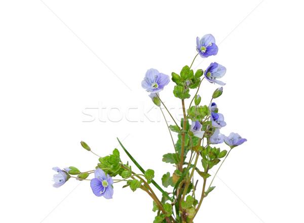 Esbelto púrpura hierba flora florecer Foto stock © rbiedermann