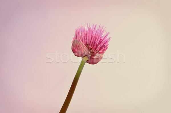 Púrpura flor naturaleza luz fondo retro Foto stock © rbiedermann