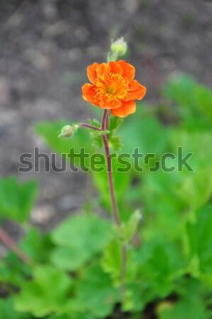 Dwarf orange avens (Geum coccineum) Stock photo © rbiedermann