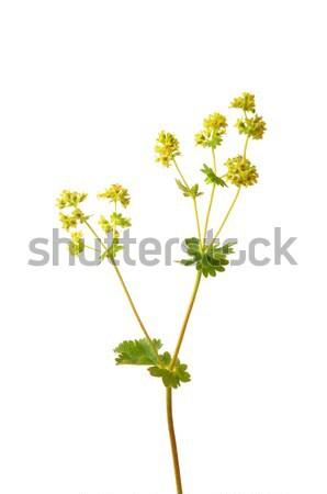 Velours fleur médicaux nature herbe sauvage Photo stock © rbiedermann
