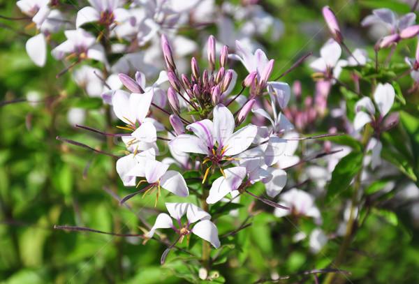 Spin bloem tuin plant Stockfoto © rbiedermann