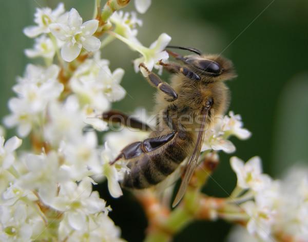 Bee on flower Stock photo © rbiedermann