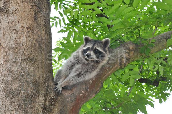 Raccoon (Procyon lotor) Stock photo © rbiedermann