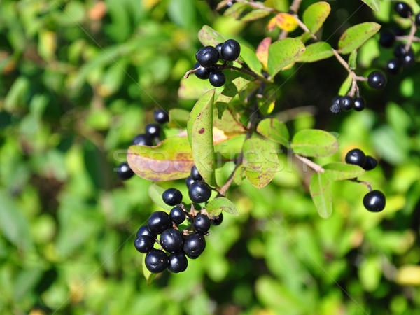 Berries of alder buckthorn (Frangula alnus) Stock photo © rbiedermann