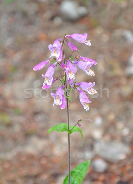 Orientale gris fleur médicaux nature rose Photo stock © rbiedermann