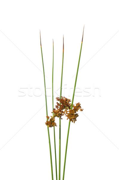 Common rush (Juncus effusus) Stock photo © rbiedermann