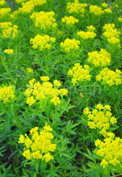 Marsh spurge (Euphorbia palustris) Stock photo © rbiedermann