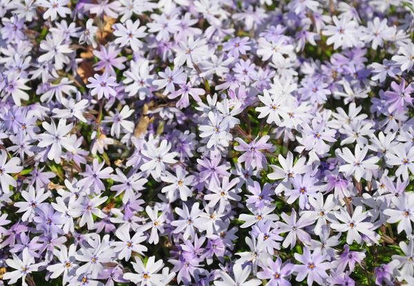 Doğa mavi pembe mor ot flora Stok fotoğraf © rbiedermann