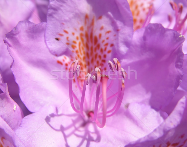 Rhododendron flower Stock photo © rbiedermann