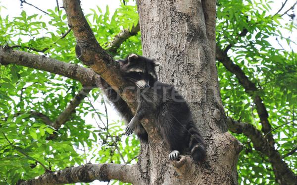 Rakun ağaç uyku şube sevimli kahverengi Stok fotoğraf © rbiedermann