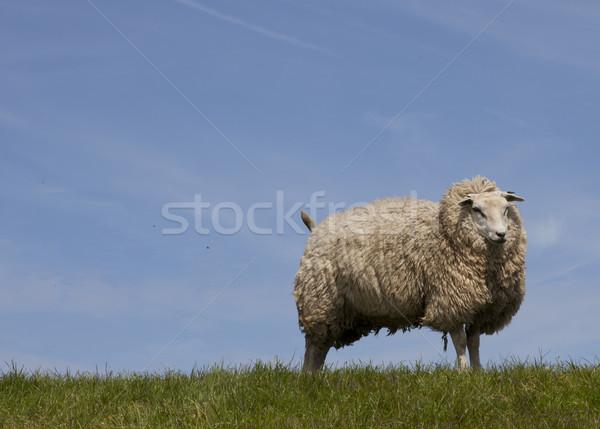sheep Stock photo © rbouwman