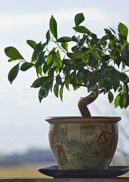 Ficus tree grown and tended as a bonzai plant Stock photo © rcarner