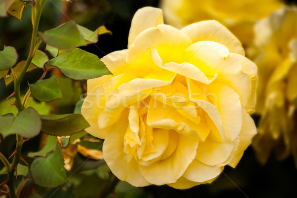 красивой желтый закрывается саду тесные Сток-фото © rcarner