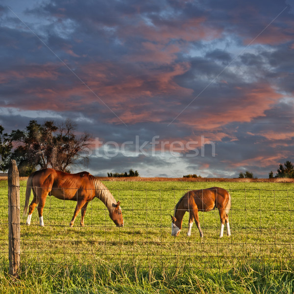Horse and Colt Grazing Stock photo © rcarner