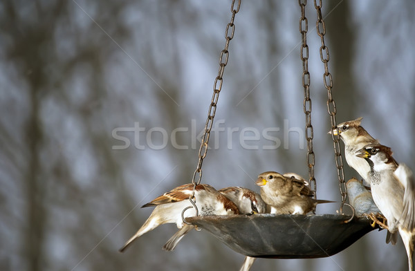 Sparrows at the bird feeder Stock photo © rcarner