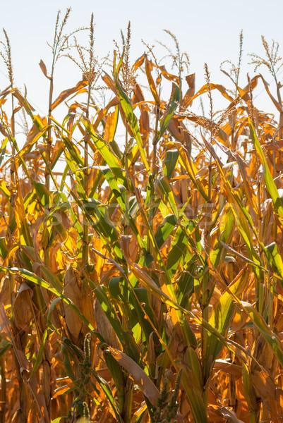 солнечный свет кукурузы солнце Сток-фото © rcarner