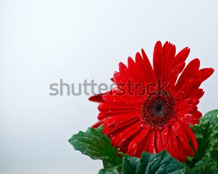 Beautiful red Gerbera Daisy with a clipping path Stock photo © rcarner
