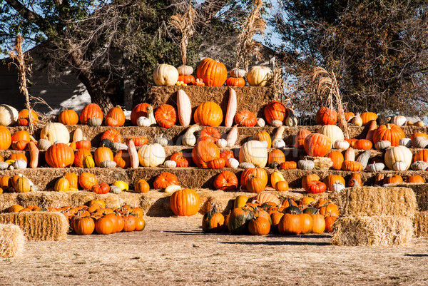 Rows of pumkins for sale before Halloween. Stock photo © rcarner