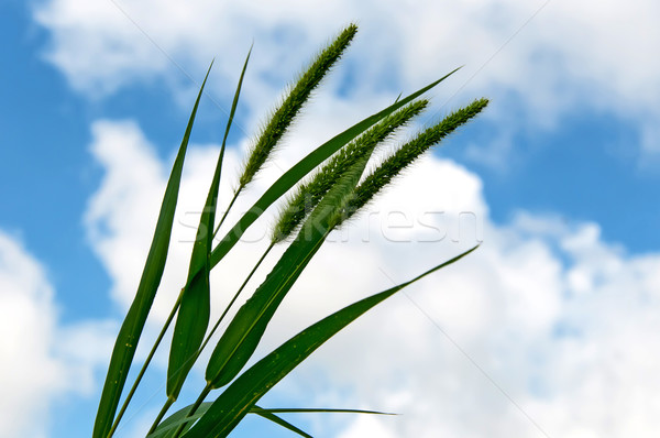 Young Millet stalks Against a Clouded Sky Stock photo © rcarner