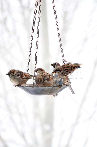 Sparrows Meeting At The Bird Feeder Stock photo © rcarner