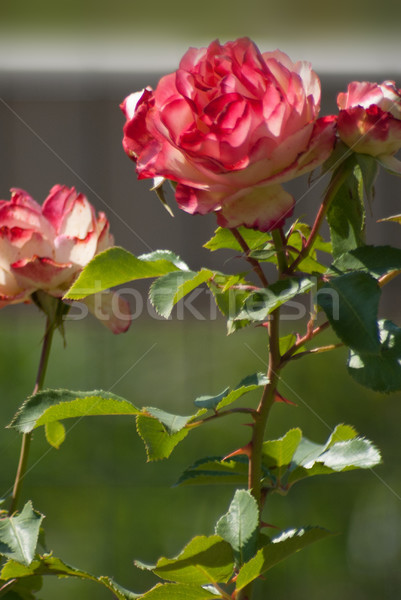 Roses, white with red edges in full bloom Stock photo © rcarner