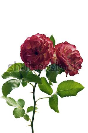 Two Red Roses isolated on white Stock photo © rcarner
