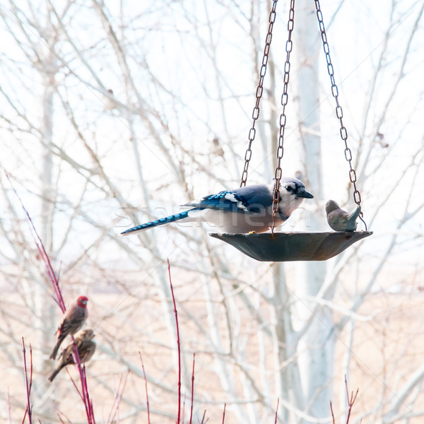Blue Jay Eating From Bird Feeder Stock photo © rcarner