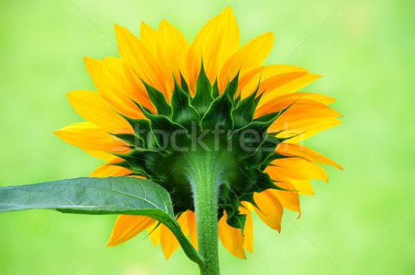 Belo girassol de volta fechar ver flor Foto stock © rcarner