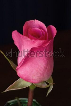 A beautiful single pink rose Stock photo © rcarner