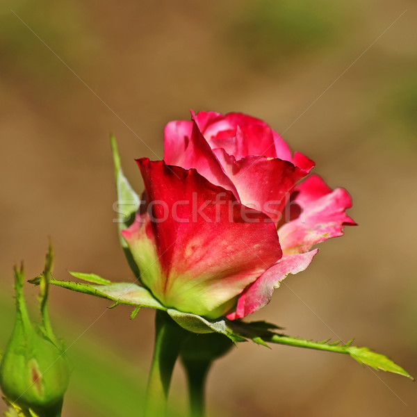 Wild Red and White Rose Stock photo © rcarner