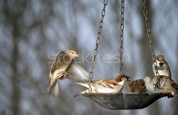 Group of sparrows at the bird feeder Stock photo © rcarner