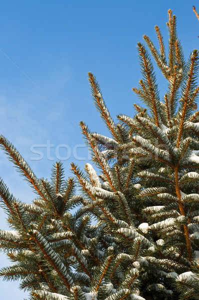 Blue spruce tree against a blue sky Stock photo © rcarner
