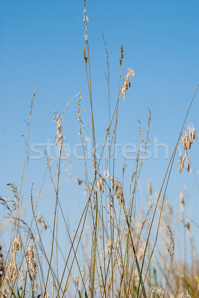 Wild grass against a blue sky background Stock photo © rcarner
