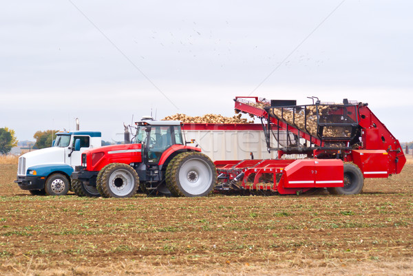 Sugar beet harvest Stock photo © rcarner