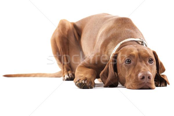 Zmęczony psa młodych kobiet węgierski Zdjęcia stock © Reaktori