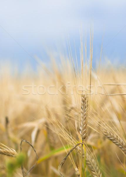 érett árpa kész színes közelkép fül Stock fotó © Reaktori