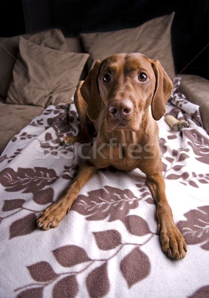 Beautiful dog. Stock photo © Reaktori