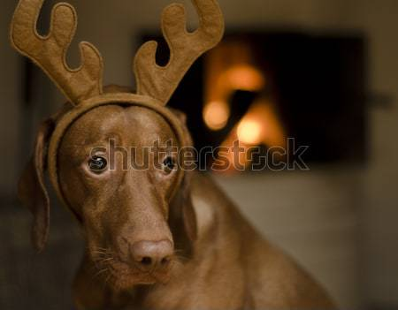 Christmas psa piękna brązowy kobiet węgierski Zdjęcia stock © Reaktori