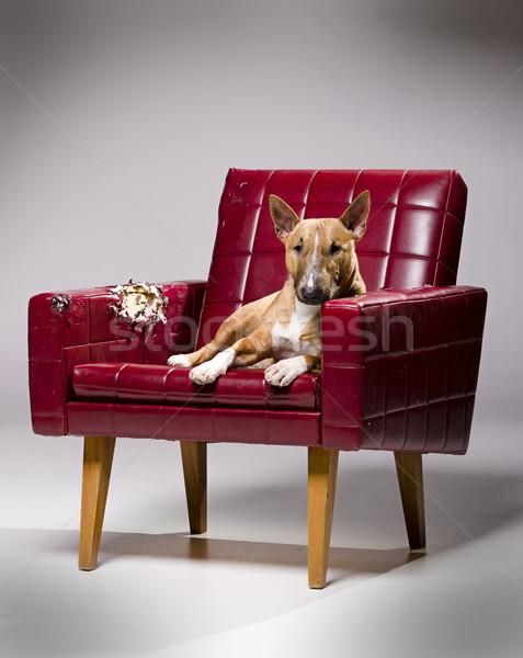 Psa skóry fotel kobiet miniatura byka Zdjęcia stock © Reaktori
