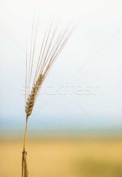 Dojrzały jęczmień gotowy kolorowy ucha Zdjęcia stock © Reaktori