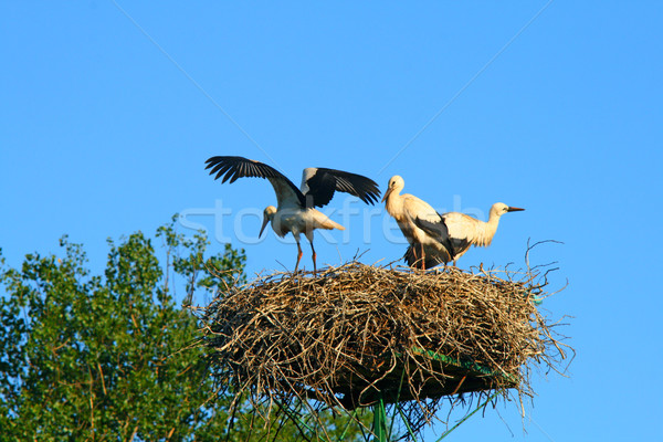 Stork family at nest Stock photo © remik44992