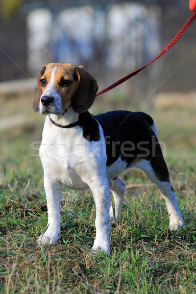 Tri-colored beagle puppy Stock photo © remik44992