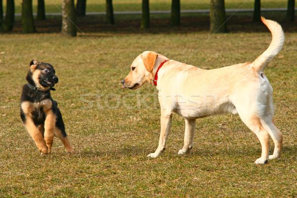 Playing dogs Stock photo © remik44992