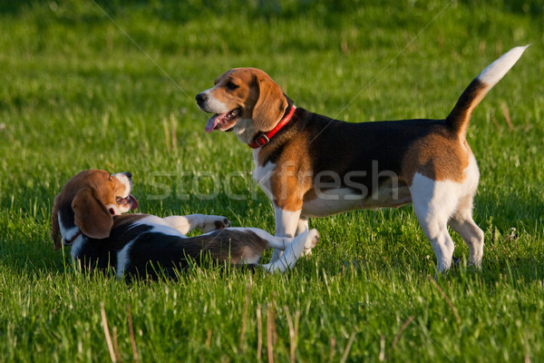 Beagle собаки счастливым парка собака трава Сток-фото © remik44992